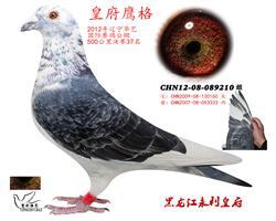 12年辽宁华艺国际赛鸽公棚决赛37名