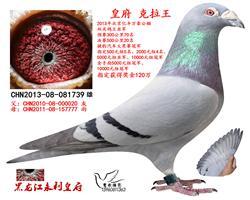 北京亿丰万豪国际赛鸽双关鸽王亚军