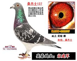 鸽王之母桑杰士137