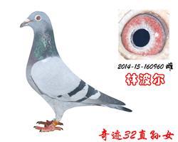 奇迹32直孙女奇迹960(林波尔)