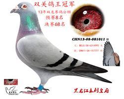 黑龙江双龙赛鸽公棚双关鸽王冠军