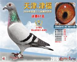 天津津福四关鸽王冠军