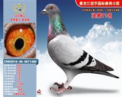 冠宇国际公棚鸽王冠军