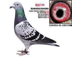鸽王749