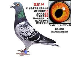 鸽王134