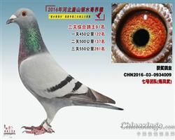 2016银水综合鸽王91