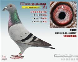 2016银水综合鸽王90