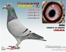 2016银水综合鸽王66
