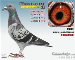 2016银水综合鸽王26