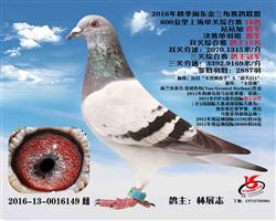 闽东金三角三关鸽王总冠军(已售)