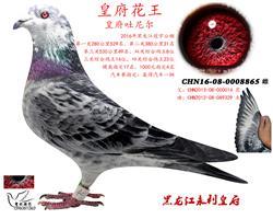 黑龙江冠宇鸽王