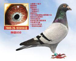 种鸽850