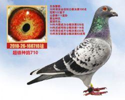 种鸽710