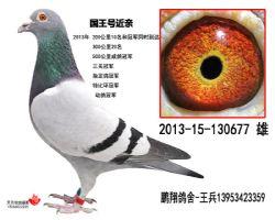 国王号2013-15-130677雄