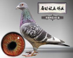 2016-特留种鸽-065《非卖品》