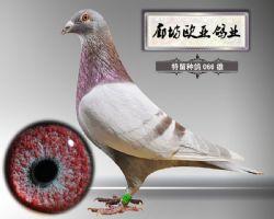 2016-特留种鸽-066