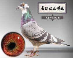 2015-黄金种鸽-063