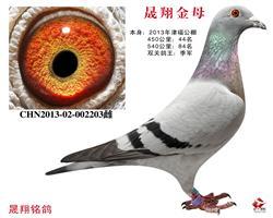 津福双关鸽王.季军.