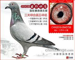 江苏云外水庄寄养棚三关鸽王48名