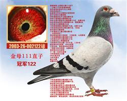 超级种鸽【冠军122】