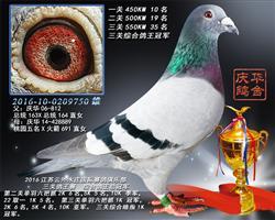 2016江苏云外水庄三关鸽王总冠军