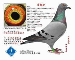16年上海幼排20名 已转鸽友收藏