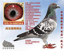 西安市信鸽协会300公里冠军(已售)
