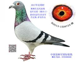 超级赛鸽,来中国前获