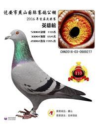 16年燕山国际赛鸽公棚决赛110名