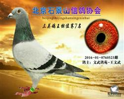 石景山协会鸽王7位