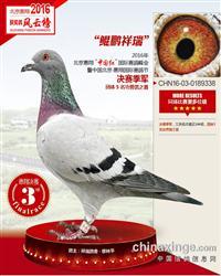 辽宁梅振江16年幼 种鸽拍卖中