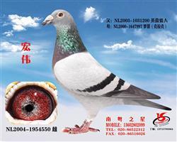 """金母-宏伟""""华润鸽系""""开山祖母(非卖品)"""