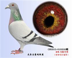 烈日红颜(鸽王冠军戈马利)