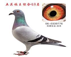 五关鸽王综合48名