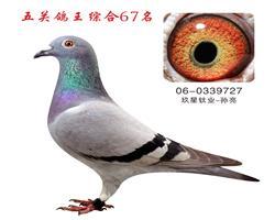 五关鸽王综合67名