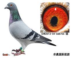 芮娜飞戈13年子代鸽-668756