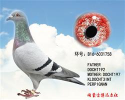 博远原环种鸽