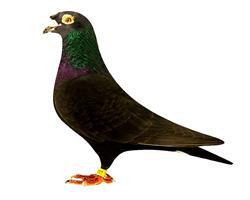 修斯肯冯莱尔鸟冠冠羽617
