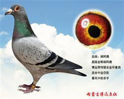 博远特留金环种鸽
