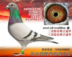 黑龙江肇源赛鸽公棚双关鸽王冠军三关冠军