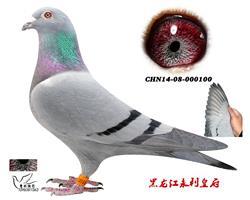 皇府超级种鸽