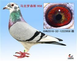 马克罗森斯最新种鸽照片已上传
