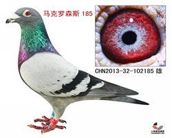 马克罗森斯185【极品种鸽】
