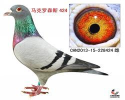 马克罗森斯424【极品种鸽】