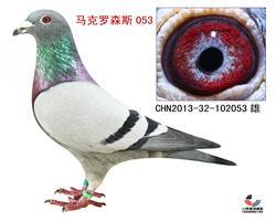 马克罗森斯053【极品种鸽】