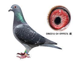 乔斯.佛卡门16年子代鸽-0999076