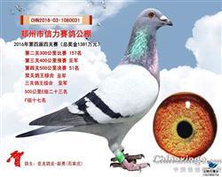 亚龙鸽业--双关鸽王亚军