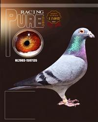 荷兰(威廉迪布恩原舍)种鸽