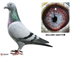 比利时赛鸽名家李斯特