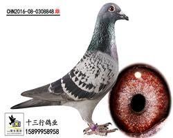 (五关鸽王六名平辈)